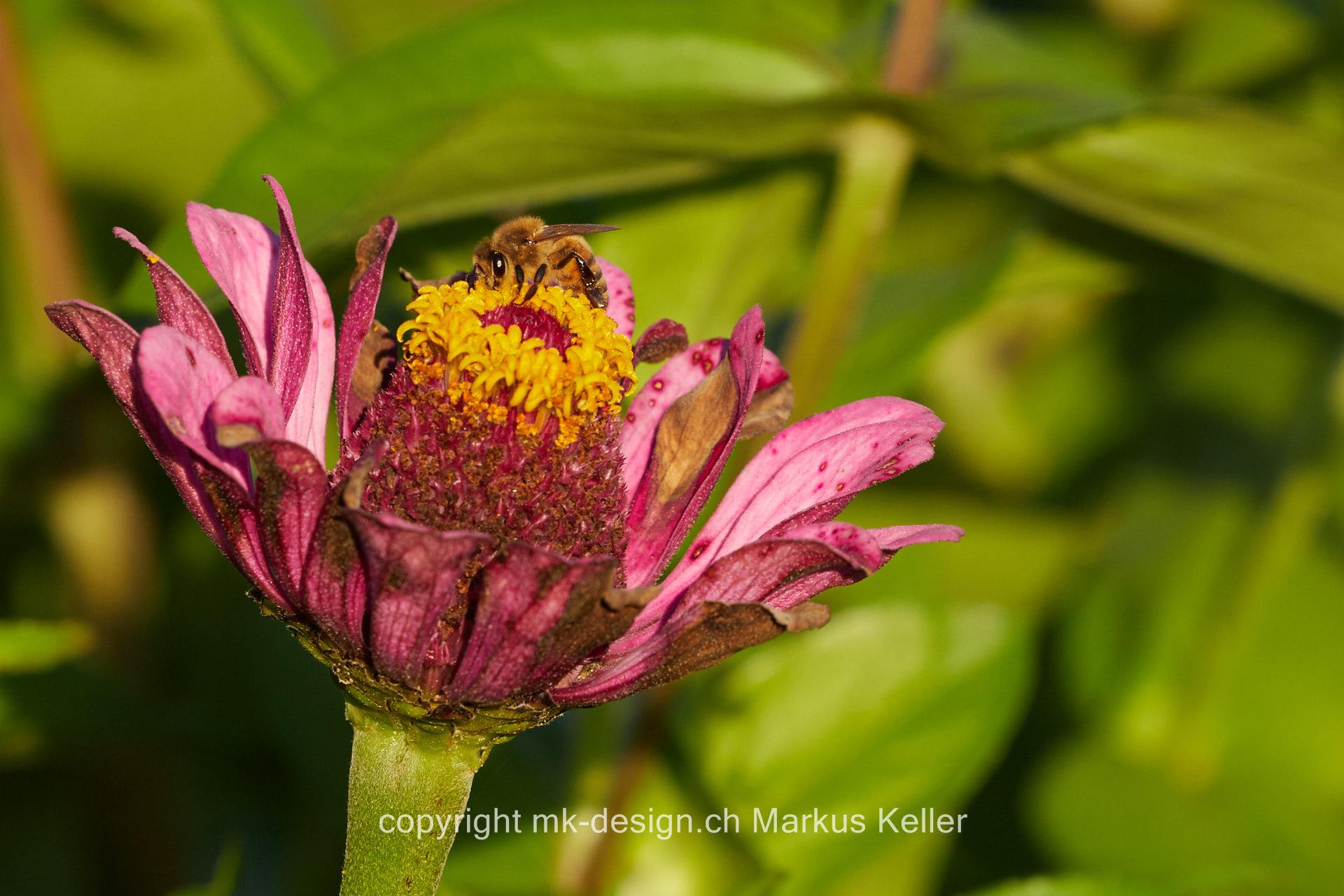 Pflanze   Blume   Zinnie   Tier   Insekte   Biene
