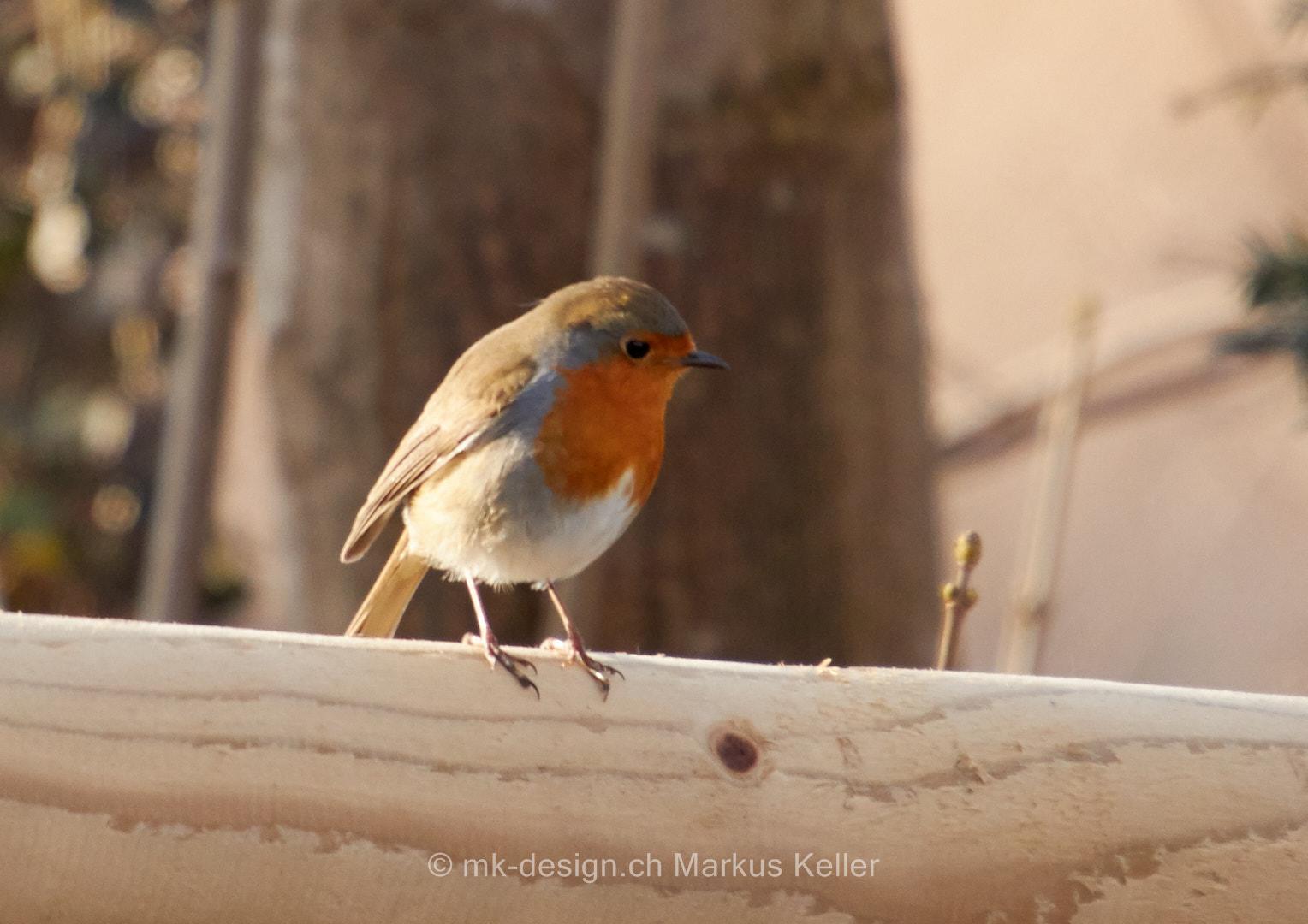 Tier   Vogel   Rotkehlchen