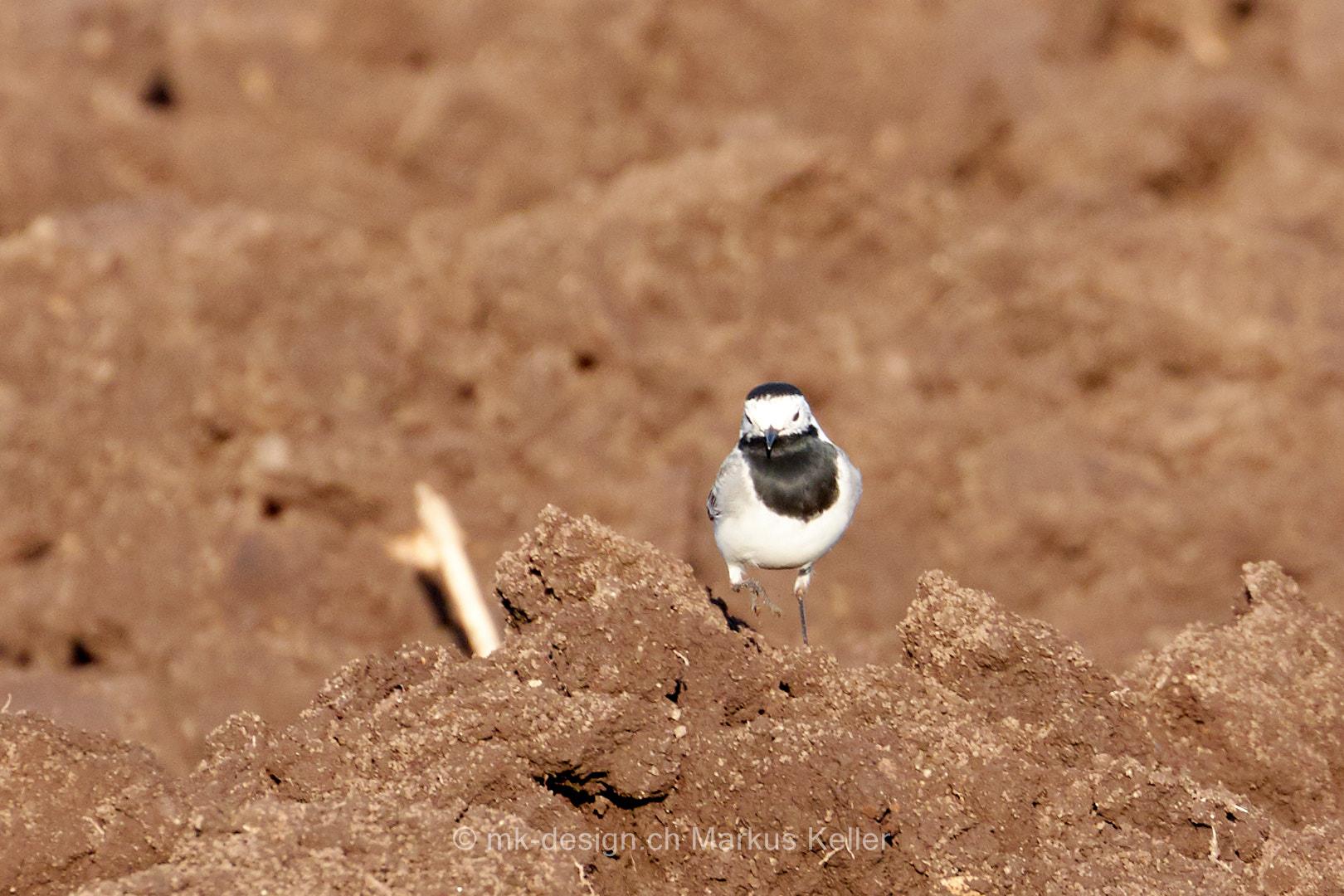 Tier   Vogel   Bachstelze