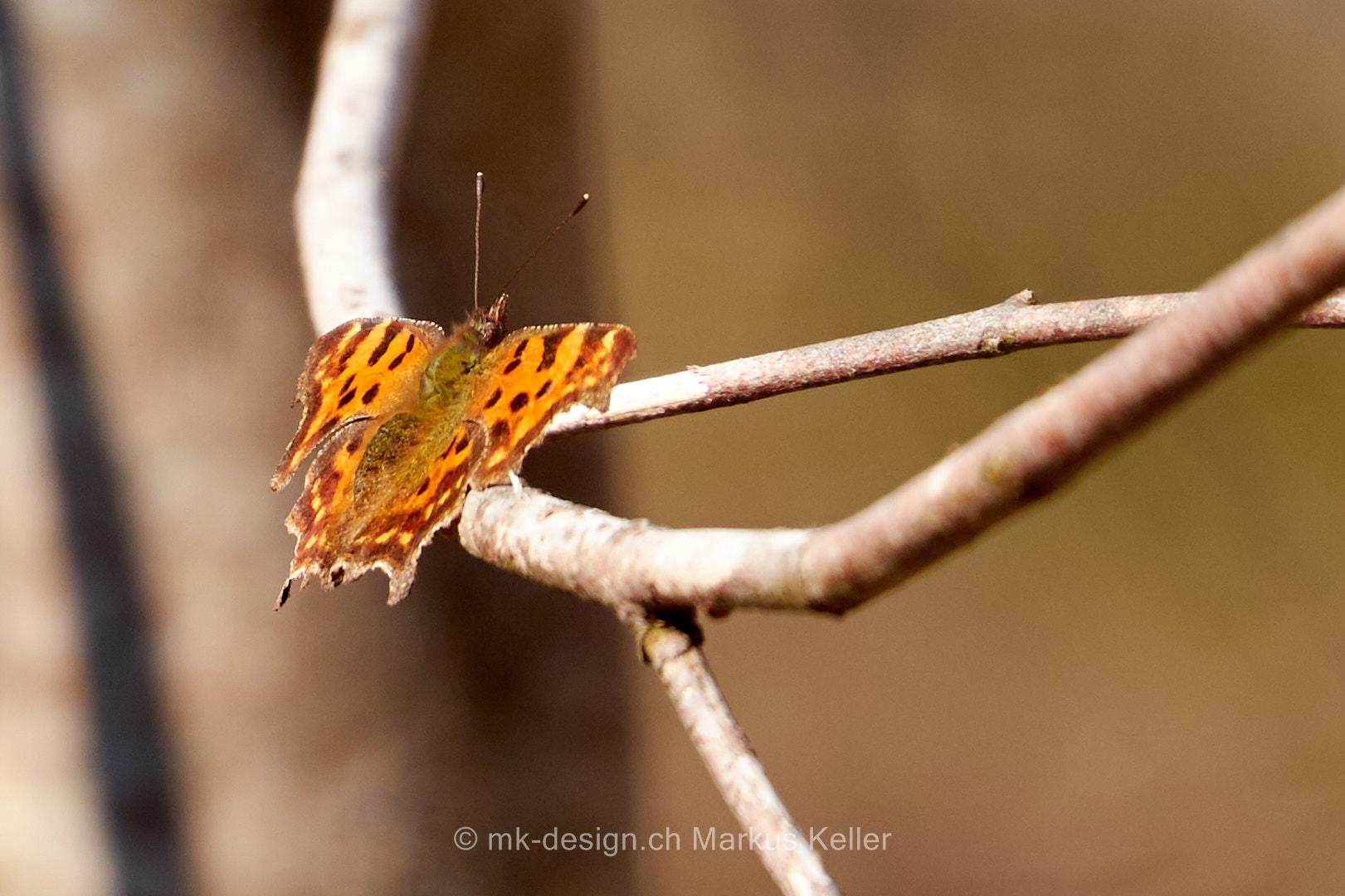 Tier   Insekte   Schmetterling   C-Falter