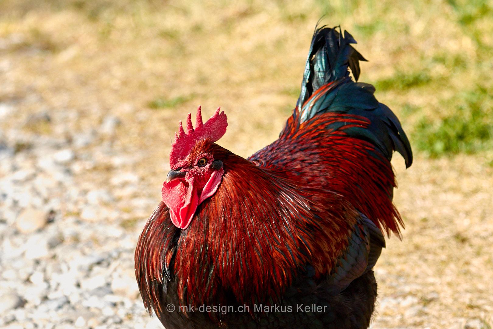Tier   Vogel   Huhn