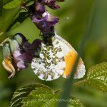 Tier   Insekte   Schmetterling   Aurorafalter