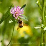 Tier   Insekte   Hummel   Pflanze   Klee