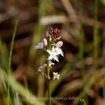 Pflanze   Blume   Fieberklee