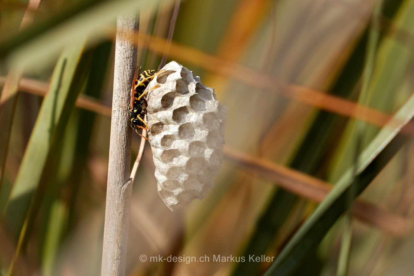 Wespennest   Tier   Insekte   Wespe