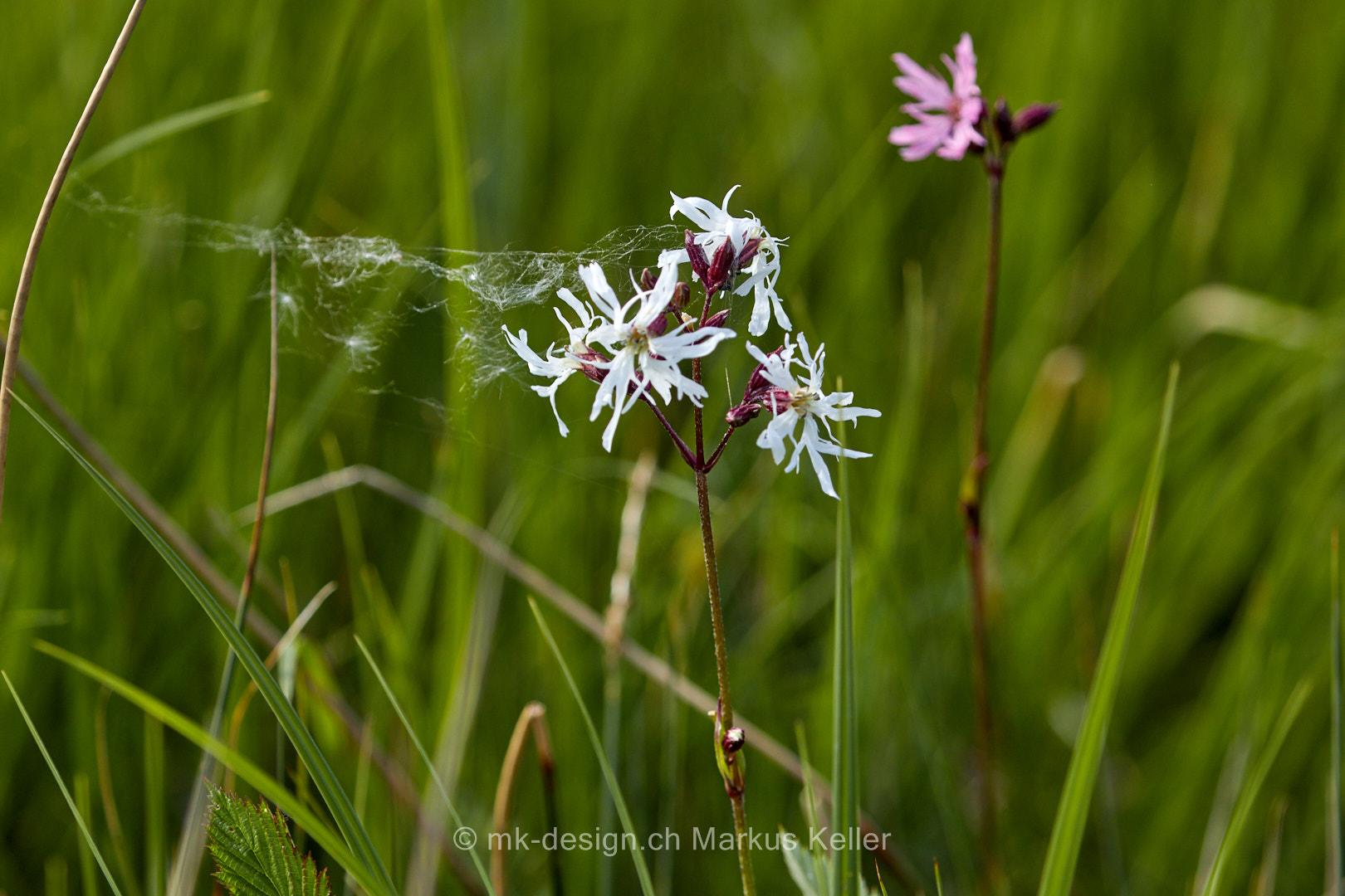 Pflanze   Blume   Kuckucks-Lichtnelke