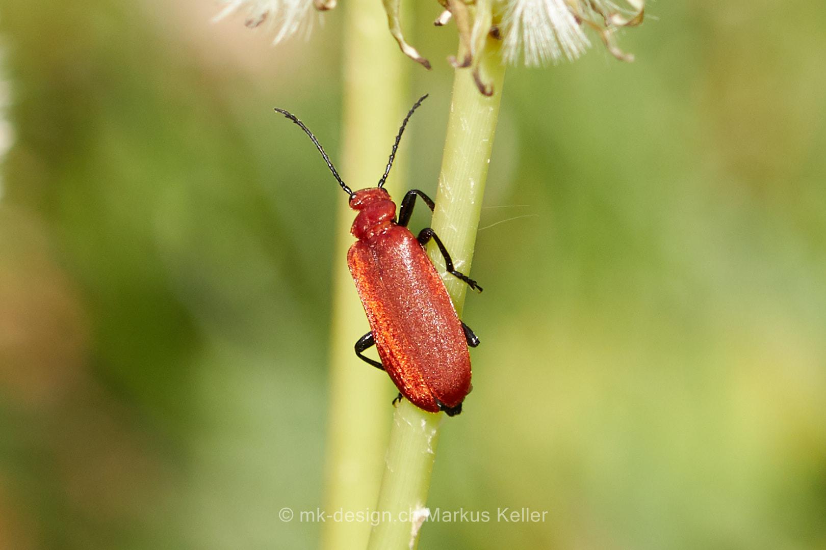 Tier   Insekte   Käfer   Feuerkäfer