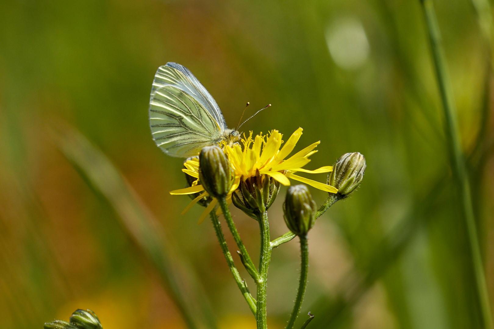 Tier   Insekte   Schmetterling   Grünaderweisslig
