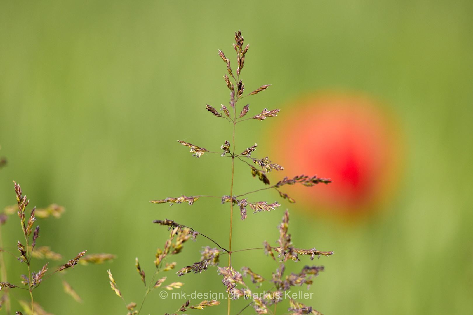 Pflanze   Gras   Blume   Mohn