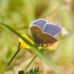 Tier   Insekte   Schmetterling   Hauhechelbläuling