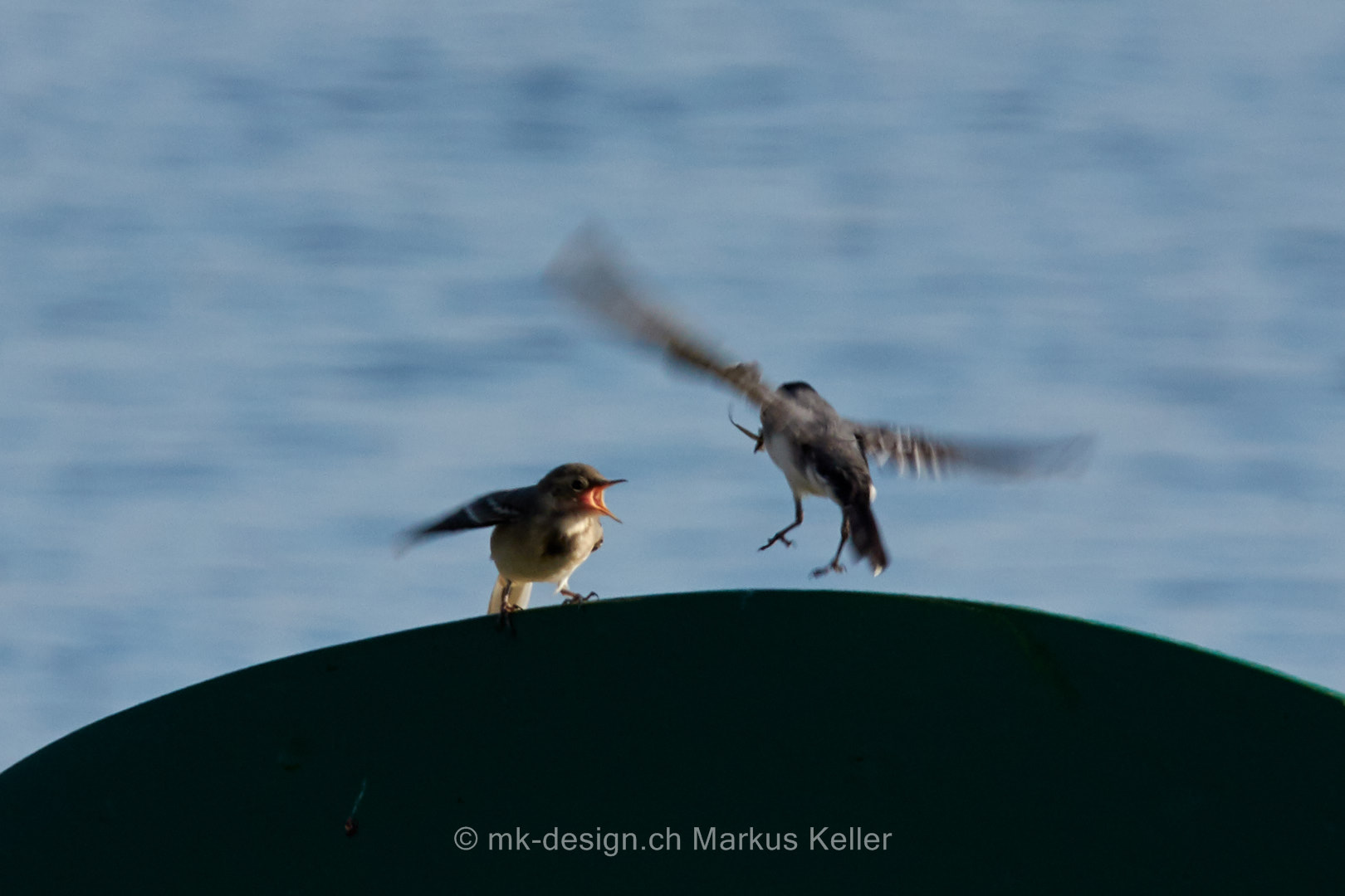 Tier   Vogel   Bachstelze   Fütterung