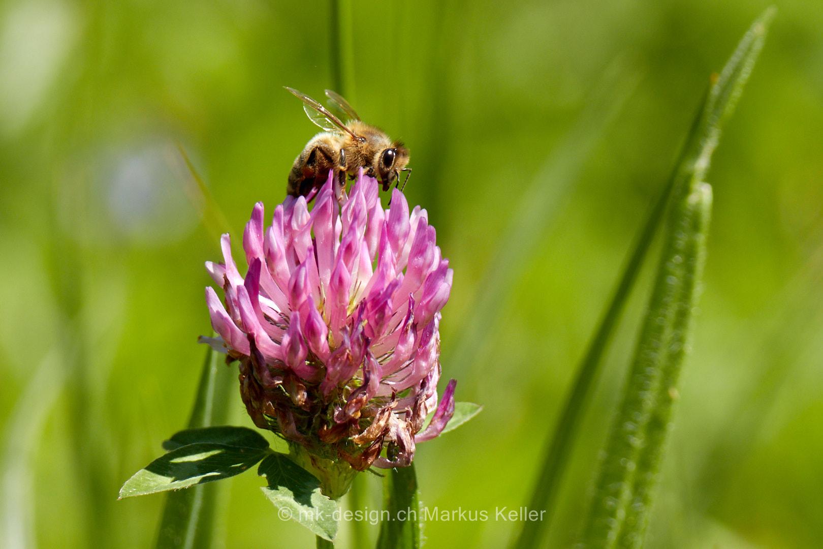 Tier   Insekte   Biene   Pflanze   Klee