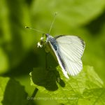 Tier   Insekte   Schmetterling   Baumweissling