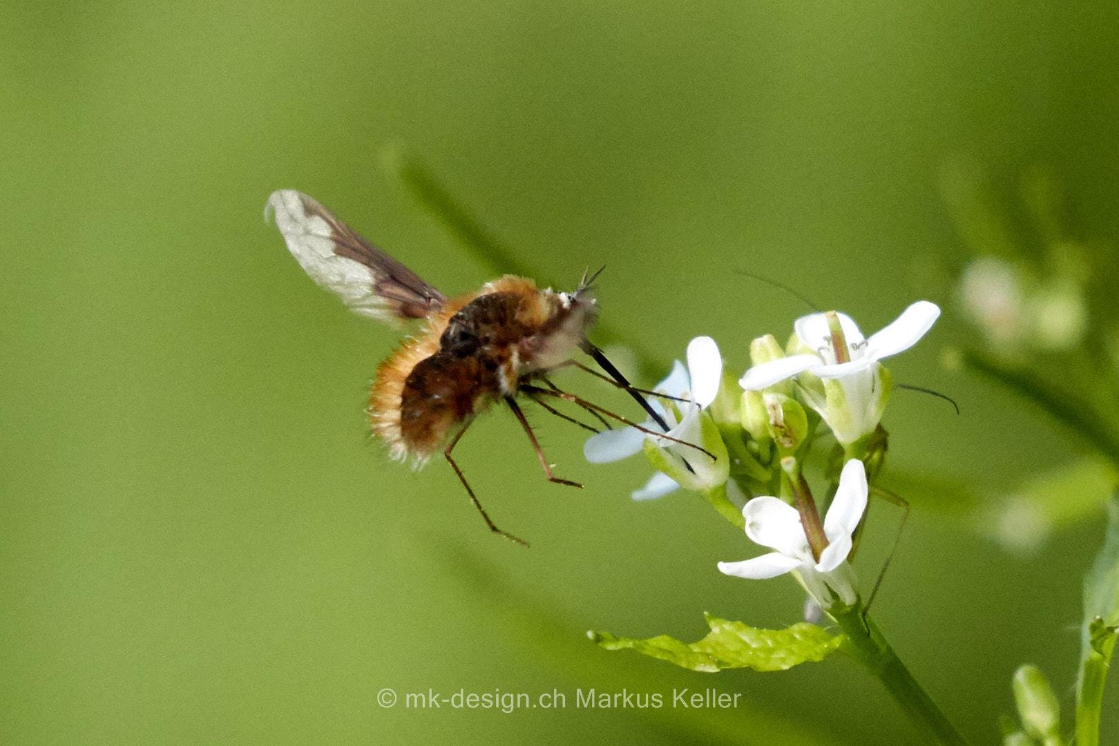Tier   Insekte   Wollschweber