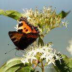 Tier   Insekte   Schmetterling   Kleiner Fuchs
