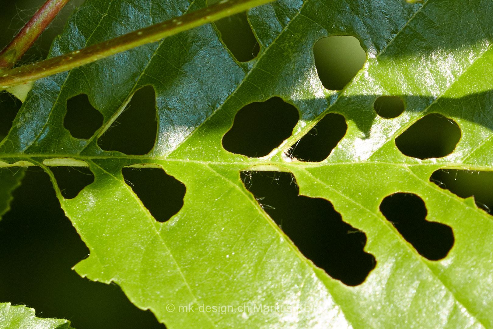 Pflanze   Blatt