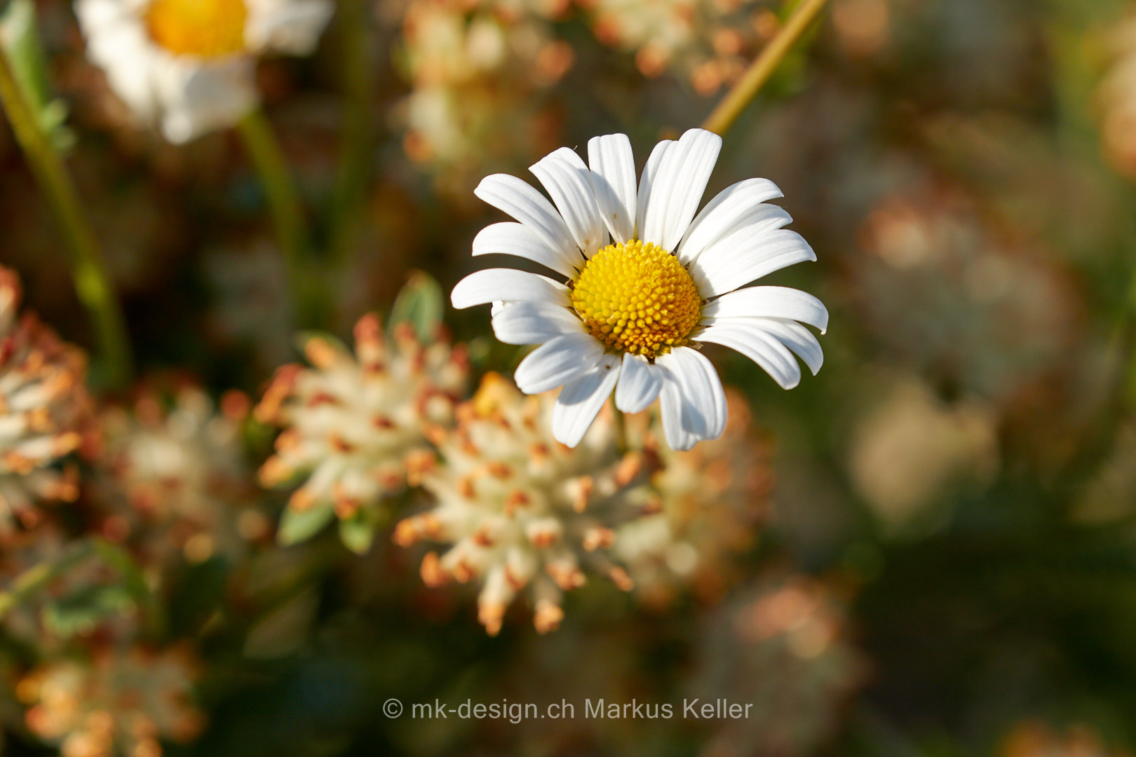 Pflanze   Blume   Margerite