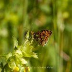 Tier   Insekte   Schmetterling/Raupe   Grosser Perlmutterfalter