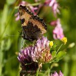 Tier   Insekte   Schmetterling/Raupe   Grosser Fuchs