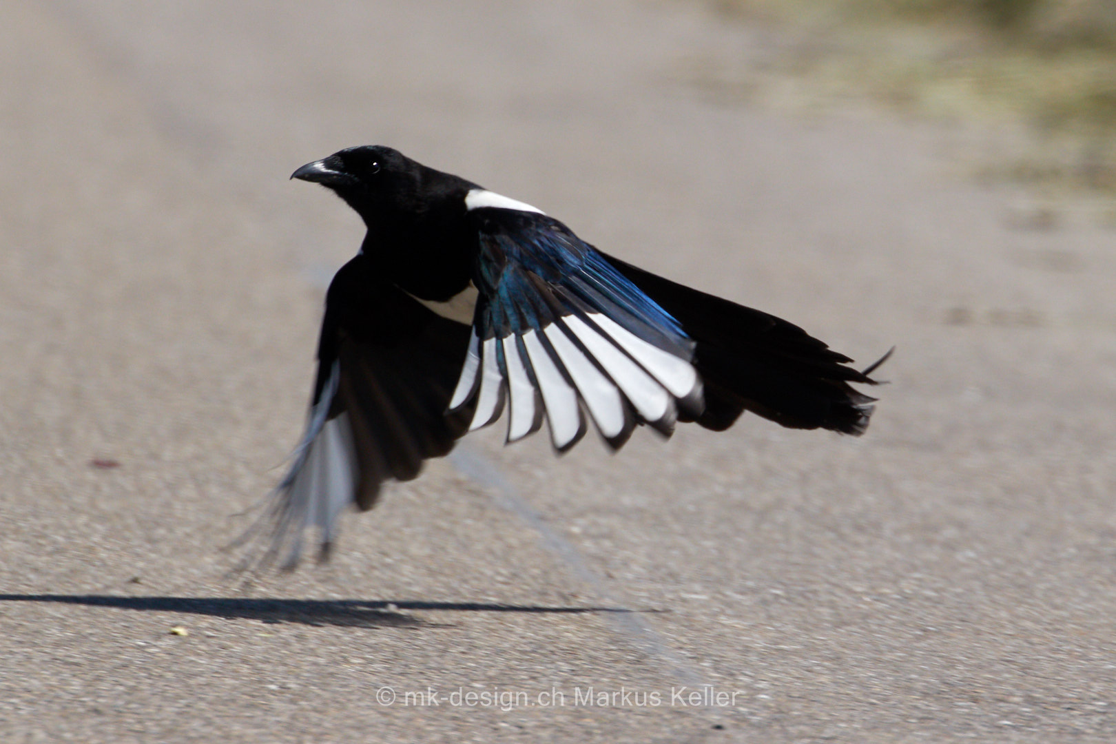 Tier   Vogel   Elster