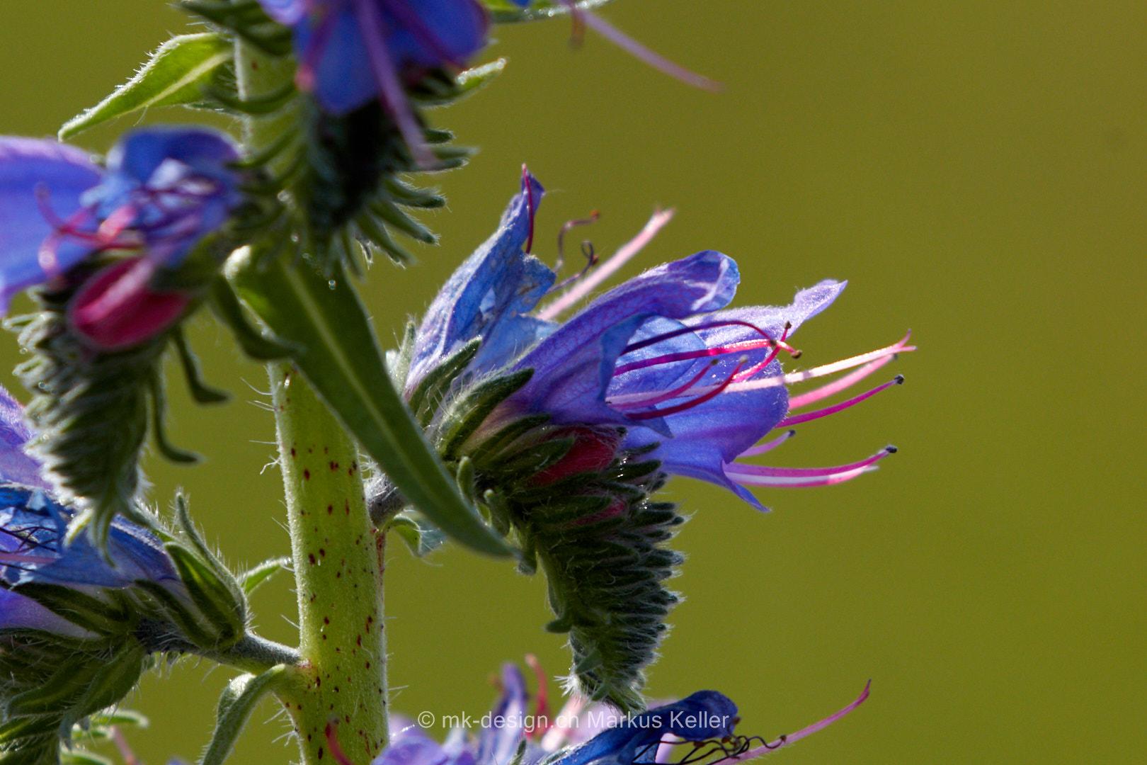 Pflanze   Blume   Natternkopf