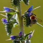 Pflanze   Blume   Natternkopf   Tier   Insekte   Biene