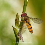 Tier   Insekte   Fliege   Schwebfliege
