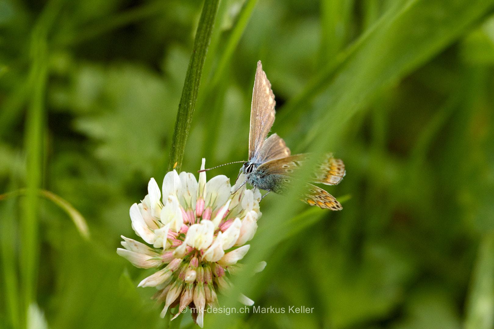 Tier   Insekte   Schmetterling/Raupe   Zwergbläuling