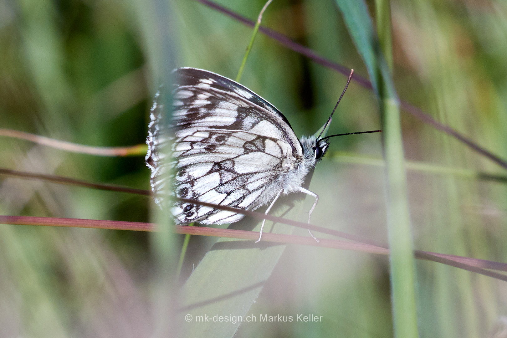 Tier   Insekte   Schmetterling/Raupe   Schachbrett