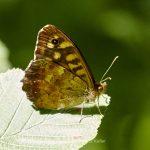 Tier   Insekte   Schmetterling/Raupe   Waldbrettspiel