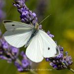 Tier   Insekte   Schmetterling/Raupe   Kohlweissling