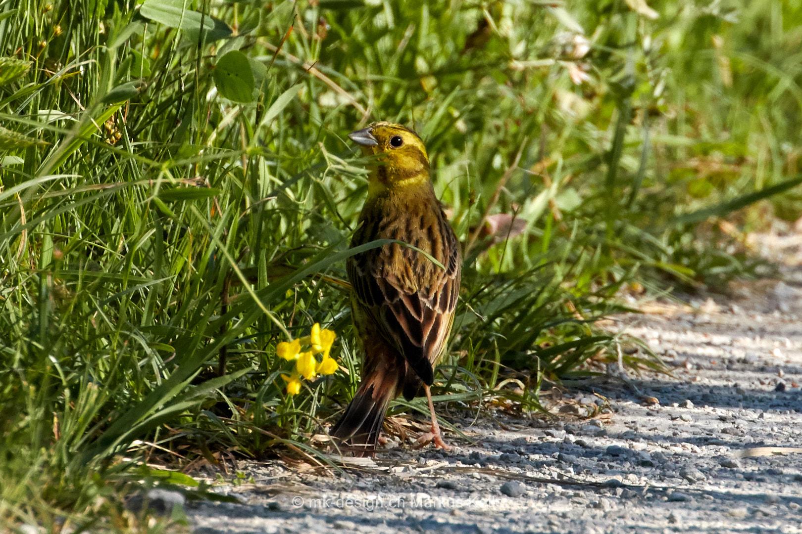 Tier   Vogel   Goldammer