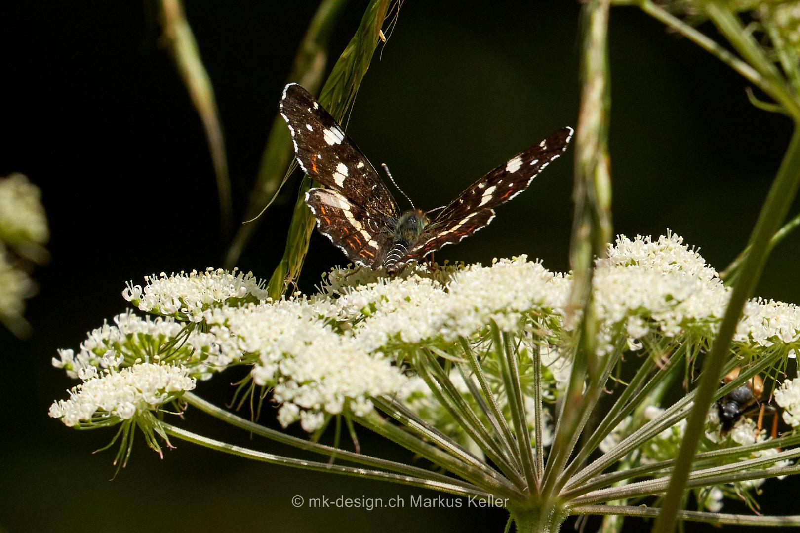 Tier   Insekte   Schmetterling/Raupe   Landkärtchen