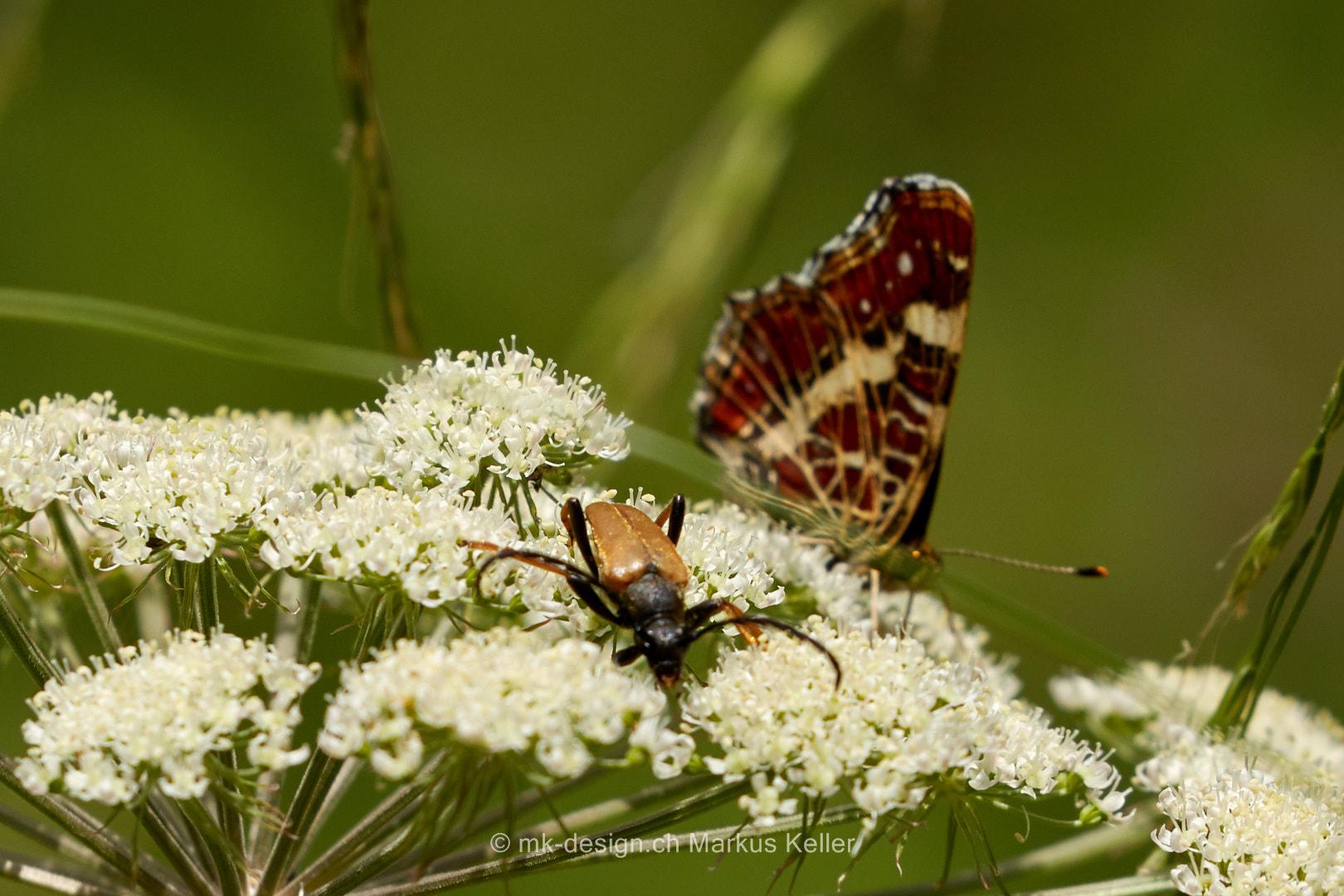 Tier   Insekte   Schmetterling/Raupe   Landkärtchen   Käfer   Rothalsbock