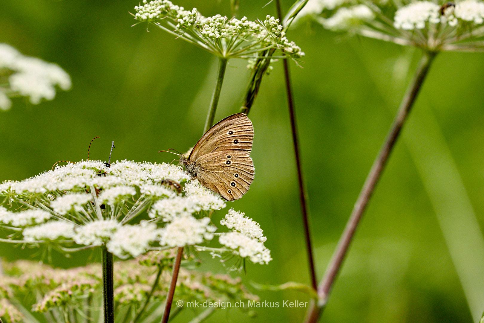 Tier   Insekte   Schmetterling/Raupe   Schornsteinfeger/Brauner Waldvogel
