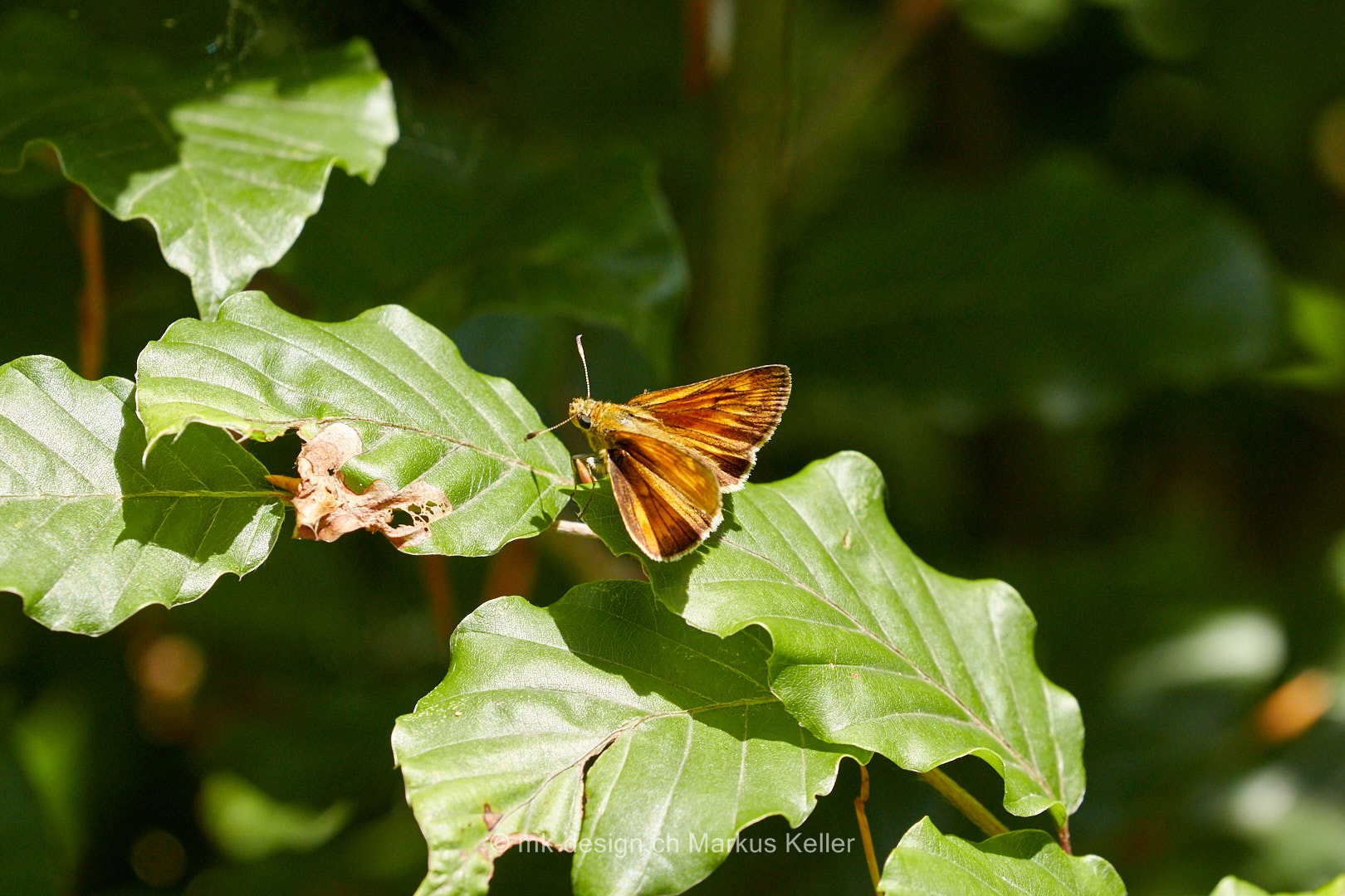 Tier   Insekte   Schmetterling/Raupe   Rostfarbiger Dickkopffalter