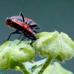 Tier   Insekte   Käfer   Feuerwanze