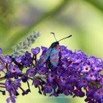 Tier   Insekte   Schmetterling/Raupe   Sechsfleck-Widderchen