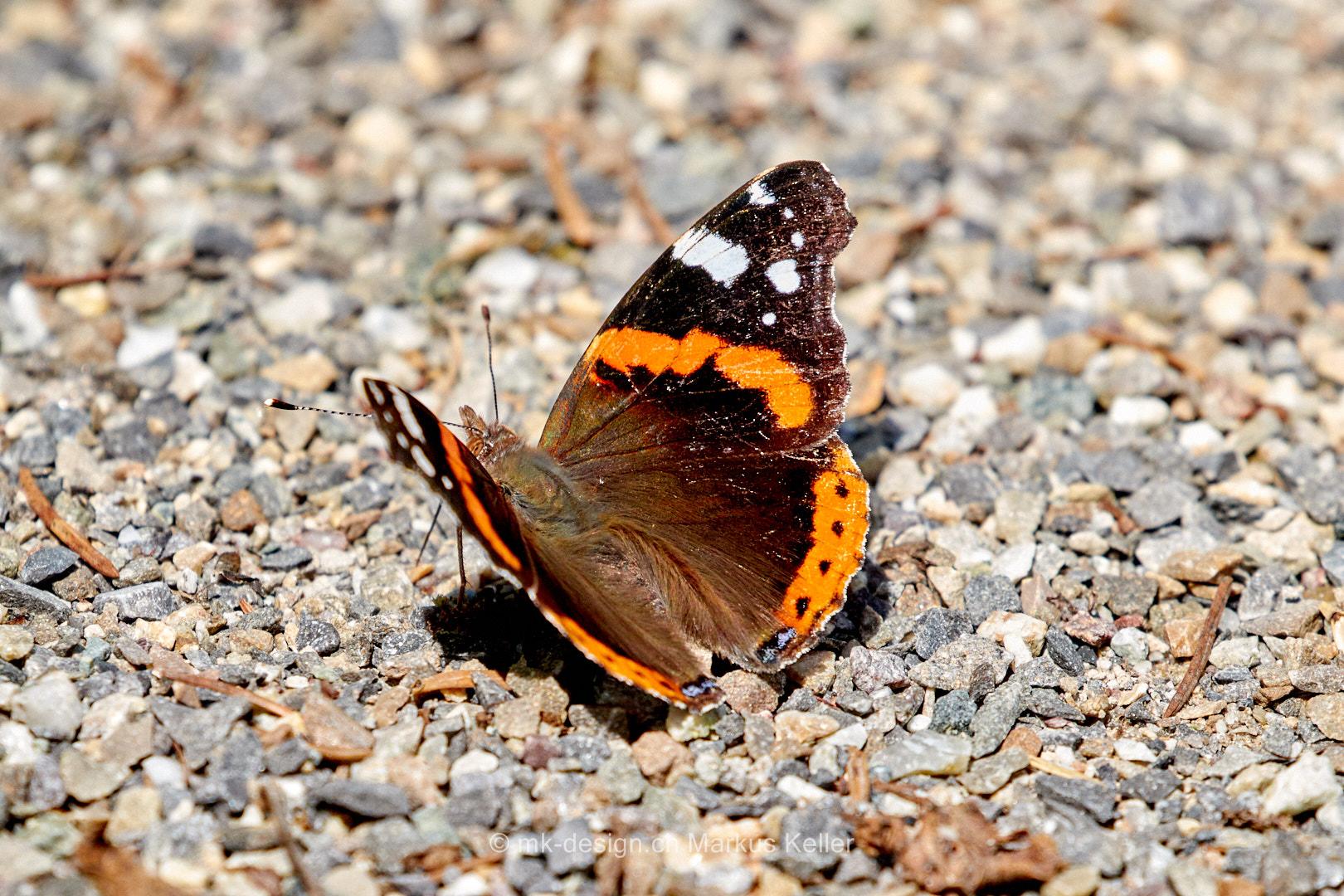 Tier   Insekte   Schmetterling/Raupe   Admiral