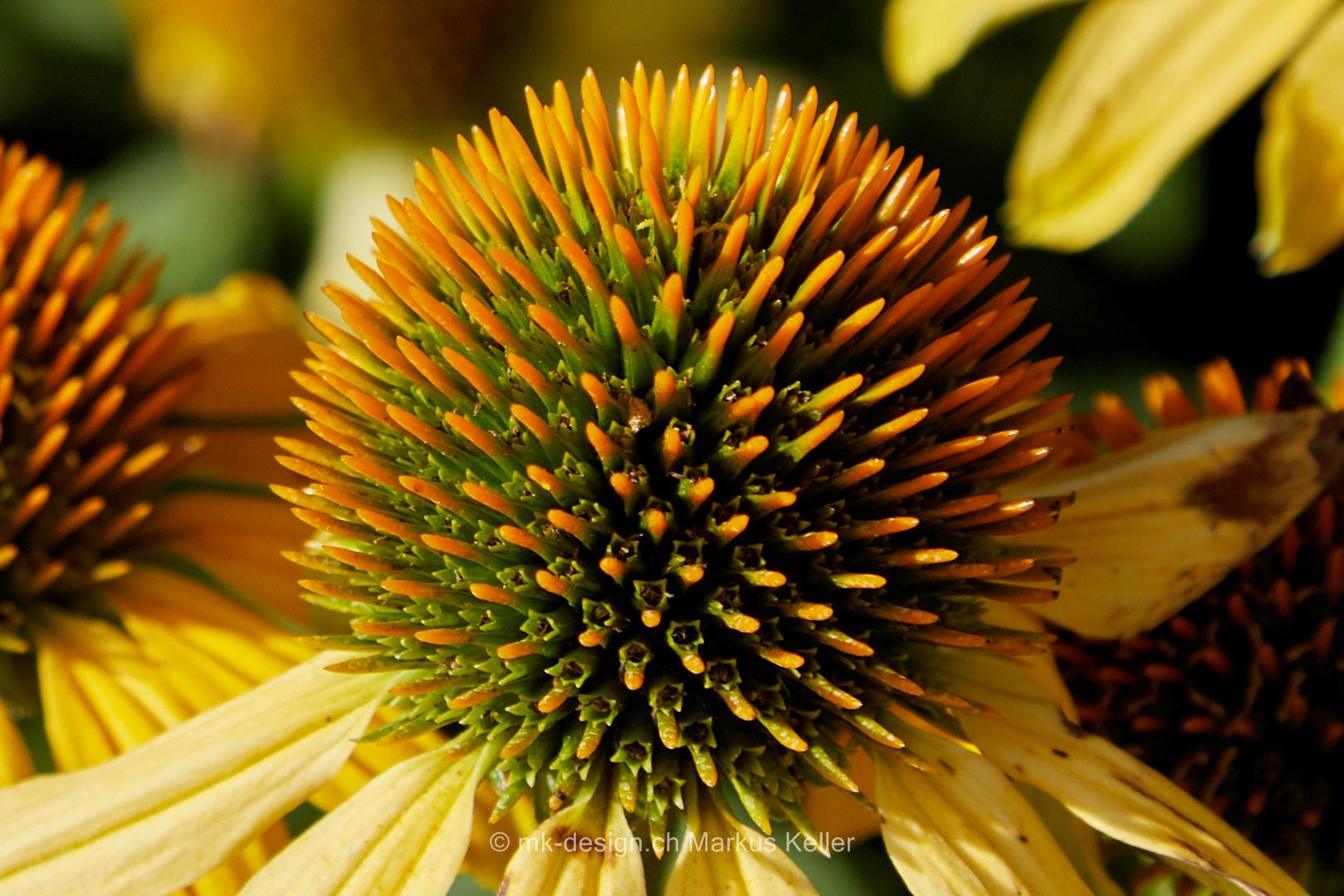 Pflanze   Blume   Sonnenhut