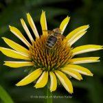 Pflanze   Blume   Sonnenhut   Tier   Insekte   Biene