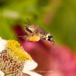 Tier   Insekte   Schmetterling/Raupe   Taubenschwänzchen