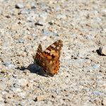 Tier   Insekte   Schmetterling
