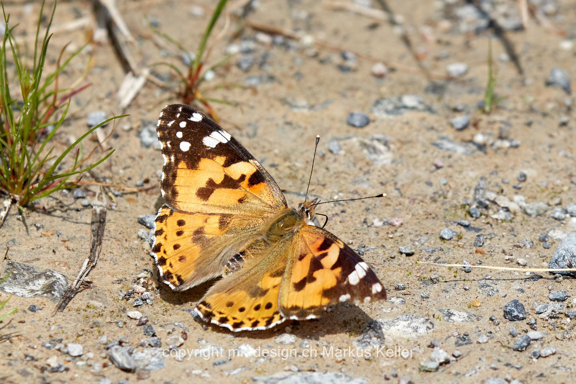 Tier   Insekte   Schmetterling   Distelfalter