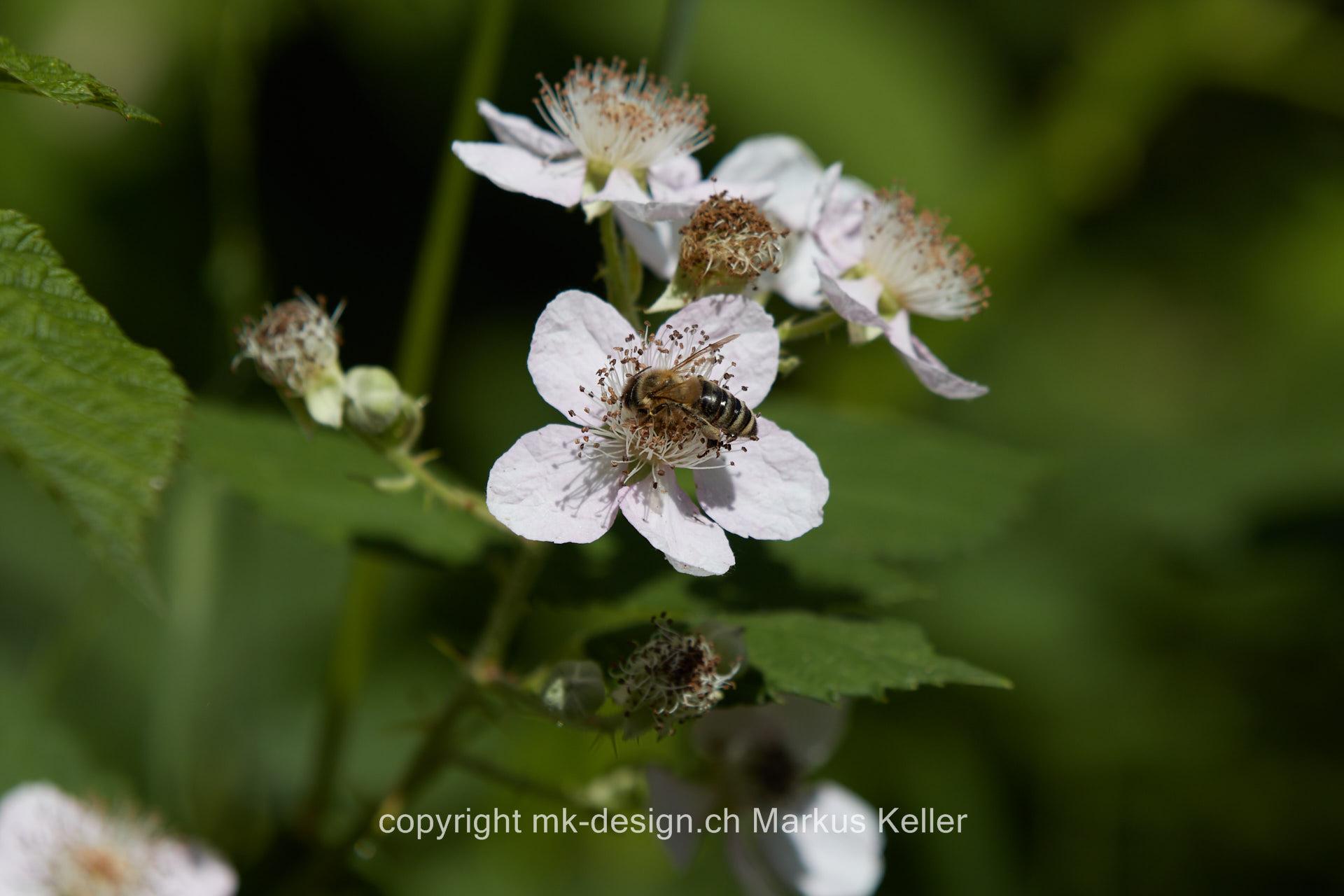 Pflanze   Blume   Buschwindröschen   Tier   Insekte   Biene