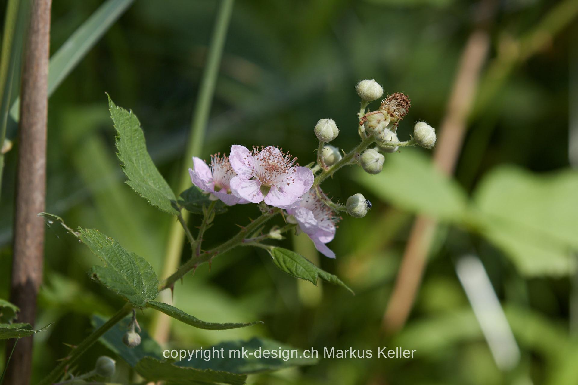 Pflanze   Blume   Buschwindröschen