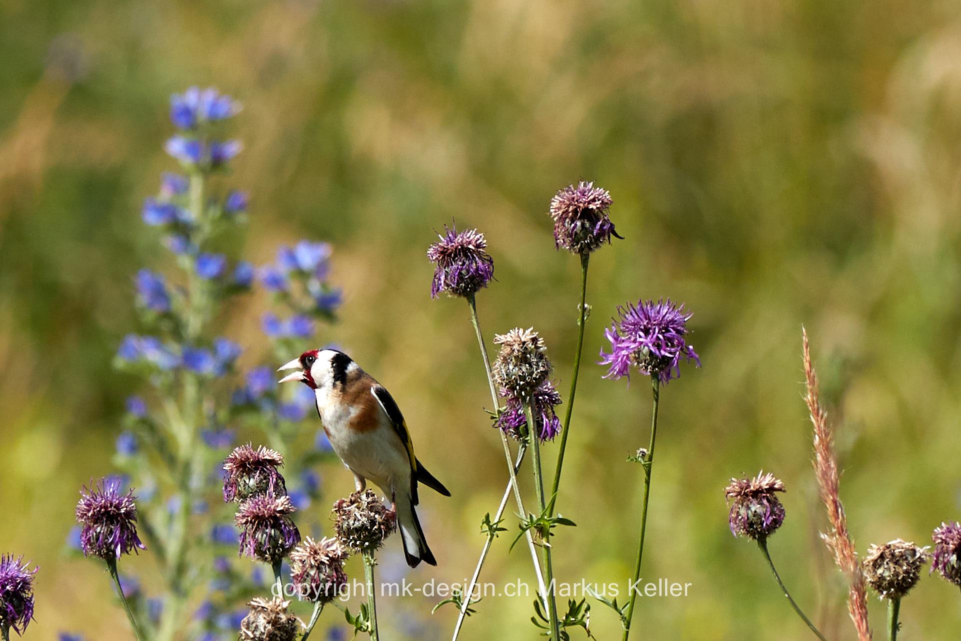 Tier   Vogel   Distelfink