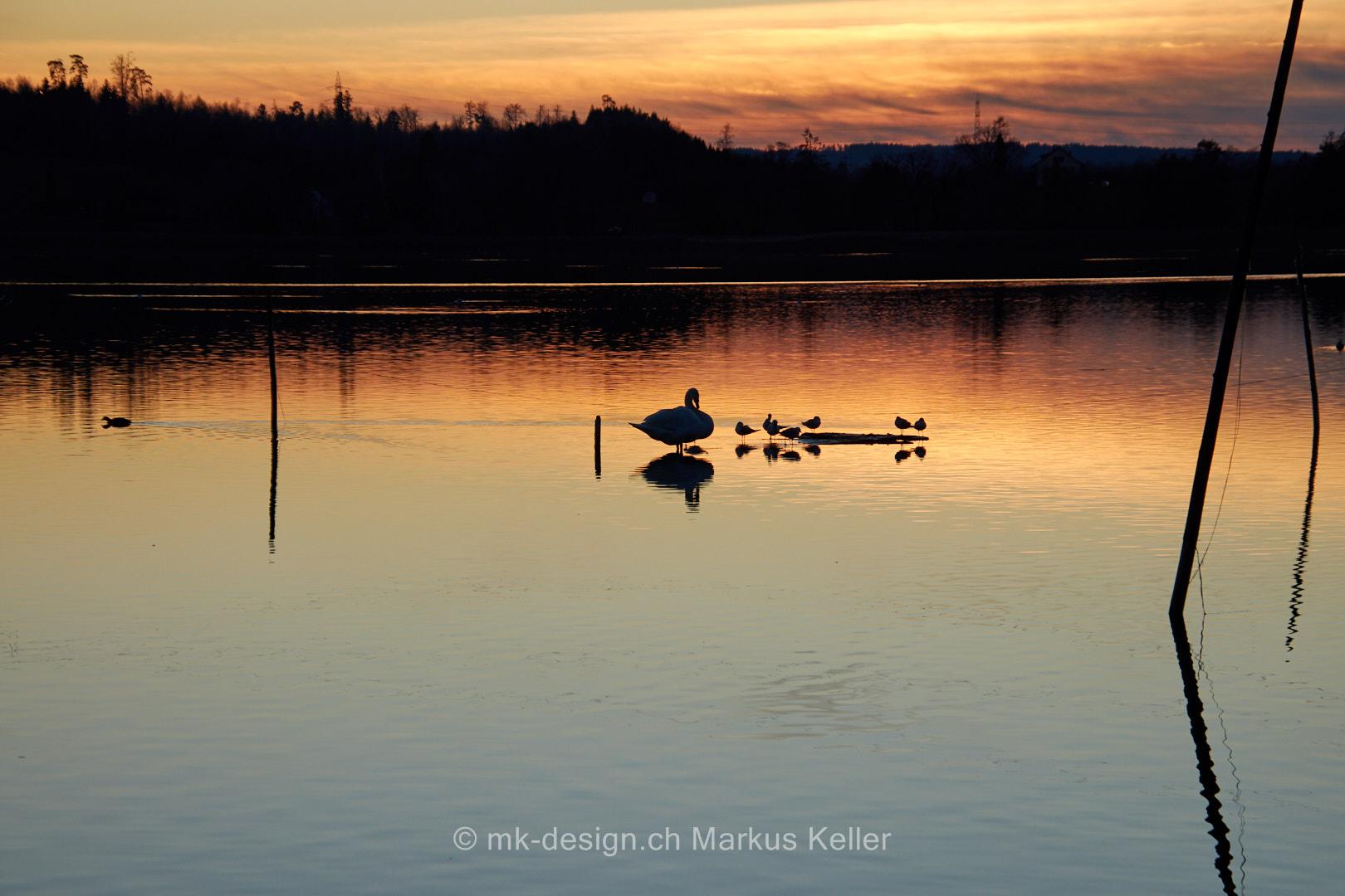See   Pfäffikersee   Tier   Vogel   Schwan   Sonne   Sonnenuntergang